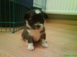 Foto 4 4 s��e Chihuahua-Malteser Welpen suchen neues Zuhause