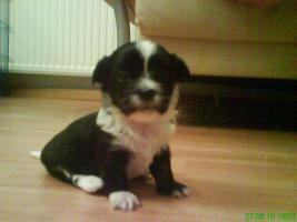 Foto 5 4 s��e Chihuahua-Malteser Welpen suchen neues Zuhause