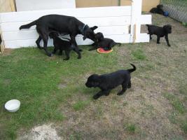 4 süße Labradormischlinge suchen ein Zuhause!