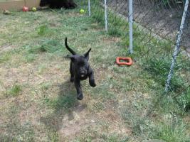 Foto 2 4 süße Labradormischlinge suchen ein Zuhause!
