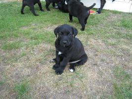 Foto 3 4 süße Labradormischlinge suchen ein Zuhause!