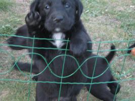 Foto 4 4 süße Labradormischlinge suchen ein Zuhause!