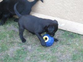 Foto 5 4 süße Labradormischlinge suchen ein Zuhause!
