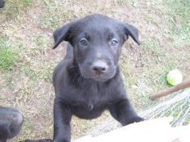 Foto 6 4 süße Labradormischlinge suchen ein Zuhause!