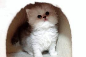 Foto 2 4 süße Perser Babys mit Nase und Stammbaum