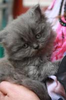 Foto 2 4 süsse Perserbabys am 12.5.2010 geboren , zu verkaufen !!
