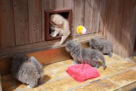 Foto 3 4 süsse Perserbabys am 12.5.2010 geboren , zu verkaufen !!