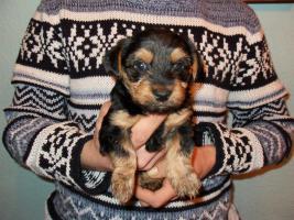 4 süße kleine Yorkshire Terrier Welpen