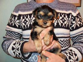 Foto 2 4 süße kleine Yorkshire Terrier Welpen