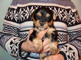 Foto 3 4 süße kleine Yorkshire Terrier Welpen