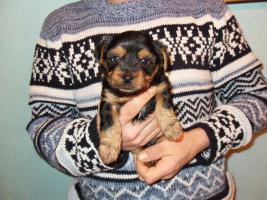 Foto 4 4 süße kleine Yorkshire Terrier Welpen