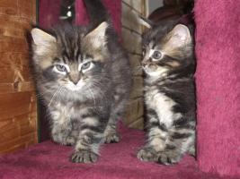Foto 3 4 s��e reinrassige wildfarbene MainCoon Kitten