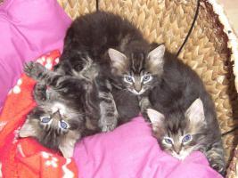 Foto 5 4 s��e reinrassige wildfarbene MainCoon Kitten