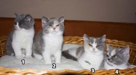 4 s��e weibliche Perser / Karth�user Kitten