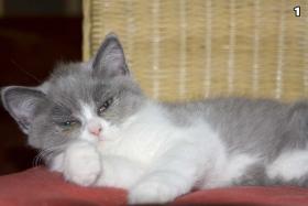 Foto 2 4 s��e weibliche Perser / Karth�user Kitten