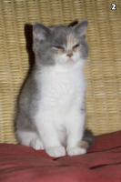 Foto 3 4 s��e weibliche Perser / Karth�user Kitten