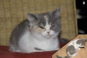 Foto 4 4 s��e weibliche Perser / Karth�user Kitten