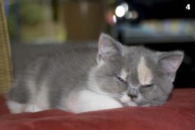 Foto 5 4 s��e weibliche Perser / Karth�user Kitten