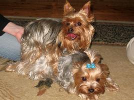 Foto 2 4 yorkshire terrier