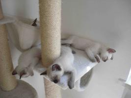 Foto 3 4 zuckersüsse kleine Siamkaterchen