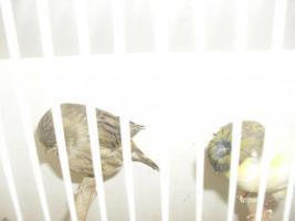 Foto 2 40, Kanarienvögel, 20.Zebrafinken, und 50.Zuchtboxen