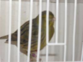 40. kanarienvögel