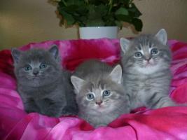 Ƹ̵̡Ӝ̵̨̄ƷBezaubernde Britisch Kurzhaar Kitten in blue und blue-tabby