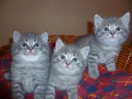 Foto 2 Ƹ̵̡Ӝ̵̨̄ƷBezaubernde Britisch Kurzhaar Kitten in blue und blue-tabby