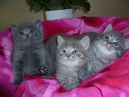 Foto 3 Ƹ̵̡Ӝ̵̨̄ƷBezaubernde Britisch Kurzhaar Kitten in blue und blue-tabby