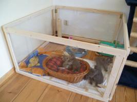 Foto 4 Ƹ̵̡Ӝ̵̨̄ƷBezaubernde Britisch Kurzhaar Kitten in blue und blue-tabby