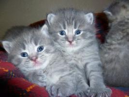 Ƹ̵̡Ӝ̵̨̄ƷKnuffige Britisch Kurzhaar Babys in blue u. blue-tabby