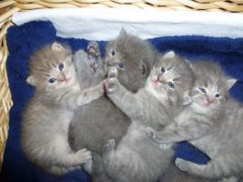 Foto 3 Ƹ̵̡Ӝ̵̨̄ƷKnuffige Britisch Kurzhaar Babys in blue u. blue-tabby
