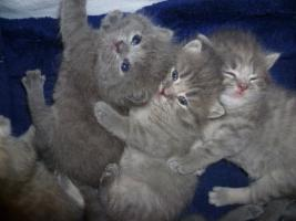 Foto 4 Ƹ̵̡Ӝ̵̨̄ƷKnuffige Britisch Kurzhaar Babys in blue u. blue-tabby