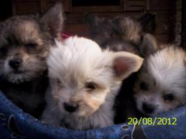 4.Chihuahua-Welpen