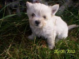 Foto 2 4.Chihuahua-Welpen