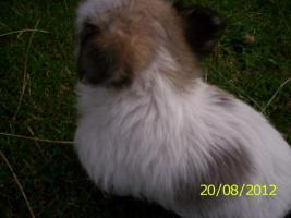 Foto 4 4.Chihuahua-Welpen