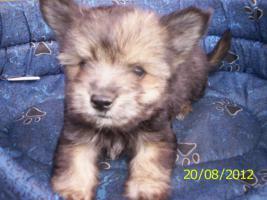 Foto 5 4.Chihuahua-Welpen