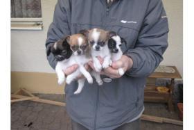 *-*-'4 ++ Liebe Chihuahua Welpen, LH/KH*-*-.*