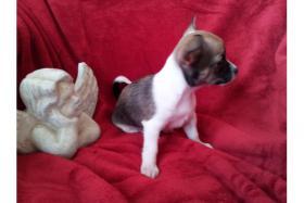 Foto 3 *-*-'4 ++ Liebe Chihuahua Welpen, LH/KH*-*-.*