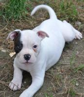 Foto 2 5 American Bulldog Welpen (Rüden)