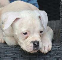 Foto 7 5 American Bulldog Welpen (Rüden)