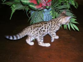 Foto 2 5 Bengalkätzchen aus liebevoller Hobbyzucht von Tierärztin zu verkaufen.