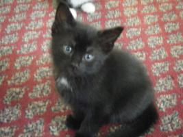Foto 2 5 Katzenbabys aus Garbsen