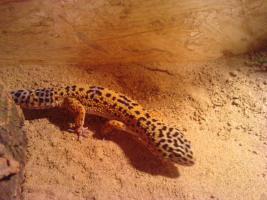5 Leopardgeckos