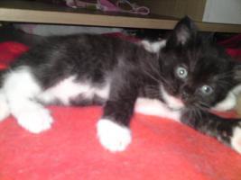 5 Perser Mix Kitten suchen neues zuhause