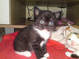 Foto 2 5 Perser Mix Kitten suchen neues zuhause