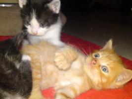 Foto 4 5 Perser Mix Kitten suchen neues zuhause