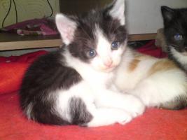 Foto 5 5 Perser Mix Kitten suchen neues zuhause