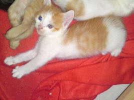 Foto 6 5 Perser Mix Kitten suchen neues zuhause
