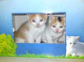 Foto 7 5 Perser Mix Kitten suchen neues zuhause